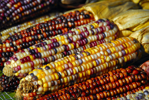 Indian Corn - Zea mays - Heirloom Vegetable - 50 Seeds