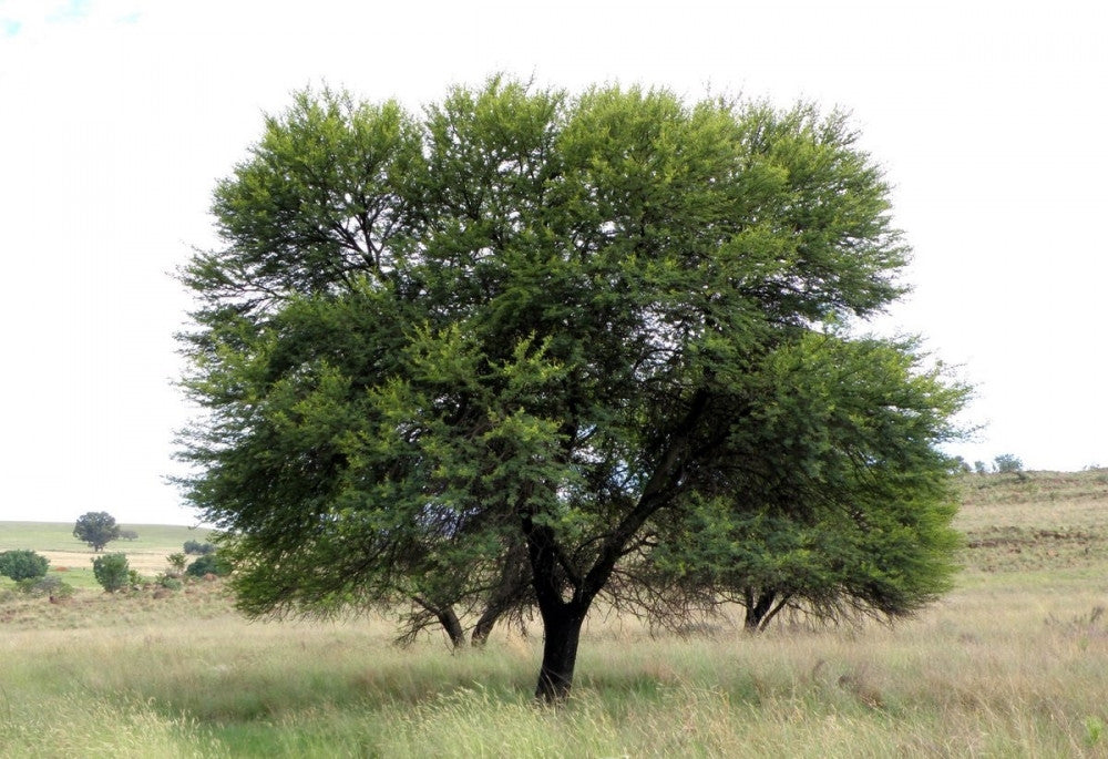 Wedding Favour Seeds - Acacia Karroo - Sweet Thorn Tree - Indigenous South African Tree