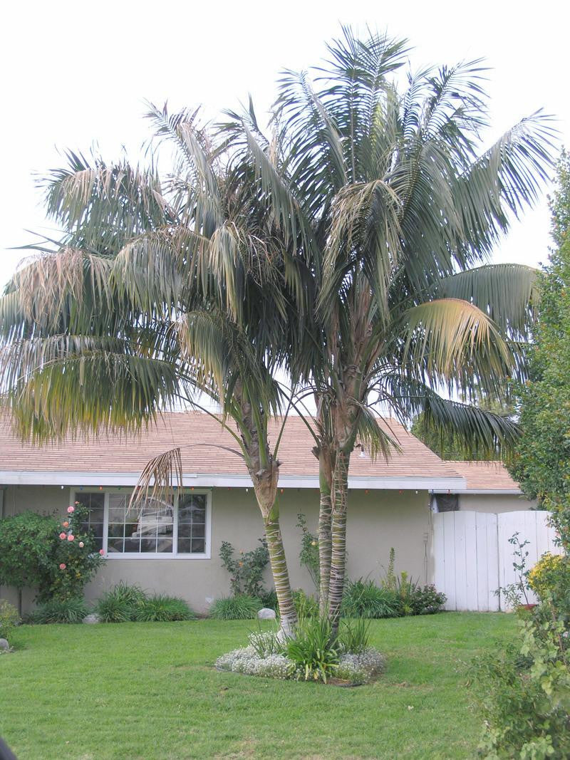 Kentia Palm - Howea fosteriana - Exotic Palm - 5 Seeds