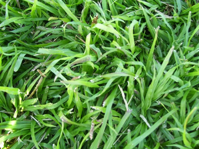 LM Berea Lawn / Grass Seed