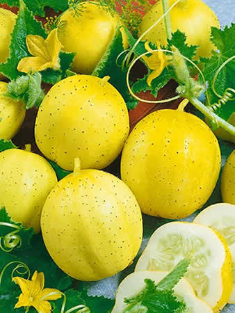 Lemon Cucumber - ORGANIC - Heirloom Vegetable - 10 Seeds