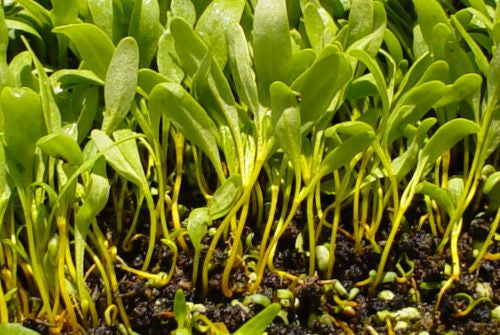 Green Swiss Chard - Microgreen Seeds