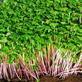 Red Cabbage - Sprouting / Microgreen Seeds