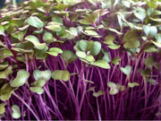 Purple Kohlrabi - Sprouting / Microgreen Seeds