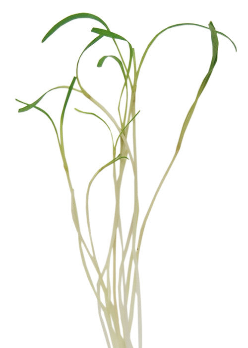 Fennel - Microgreen Seeds