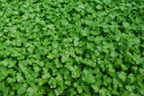 Flat Italian Parsley - Microgreen Seeds