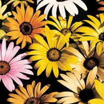 Weddings - Natural Confetti - Mixed Colour African Daisy