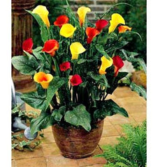 Arum Lily -  Zantedeschia - Assorted Bulbs Pack of 4 - Flower Bulbs (Not Seeds)