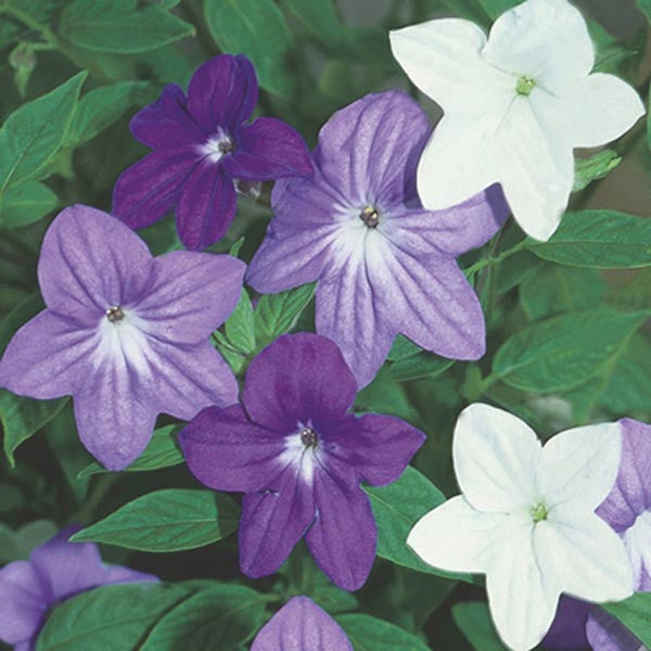 Browallia Bell Mix - Browallia speciosa - Perennial Flower - 10 Seeds