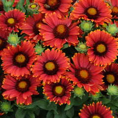 Arizona Red Shades Blanket Flower - Gaillardia grandiflora - Annual Flower - 5 Seeds
