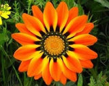Gazania Peacock Orange - Gazania krebsiana - Perennial Flower - 10 Seeds