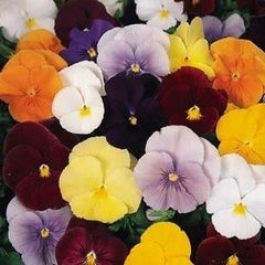 Pansy Clear Crystal Mix - Viola wittrockiana - Annual Flower - 200 Seeds