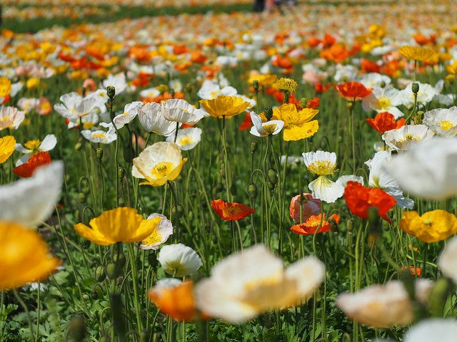 Poppy San Remo Mix - Papaver nudicaule - Annual Flower - 1000 Seeds