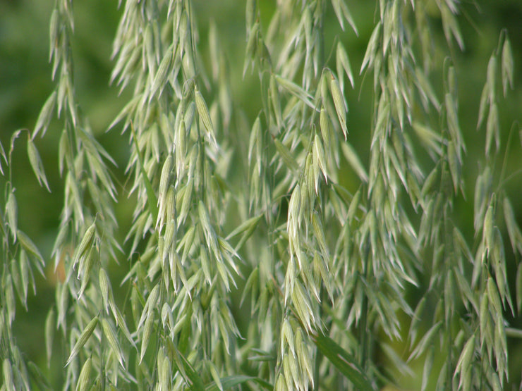 Oats Common - Avena sativa - Cover Crop / Green Manure / Grain