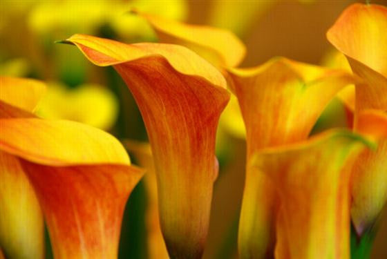 Arum Lily -  Zantedeschia - Passion Fruit - Flower Bulbs (Not Seeds)