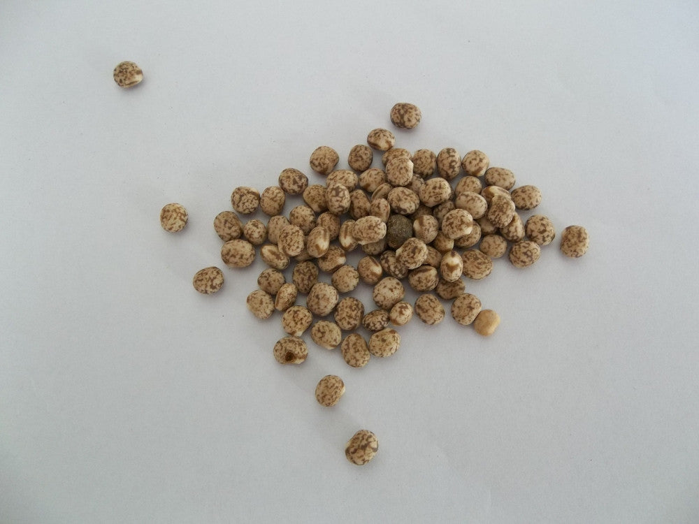 Pigeon Peas - Sprouting Seeds