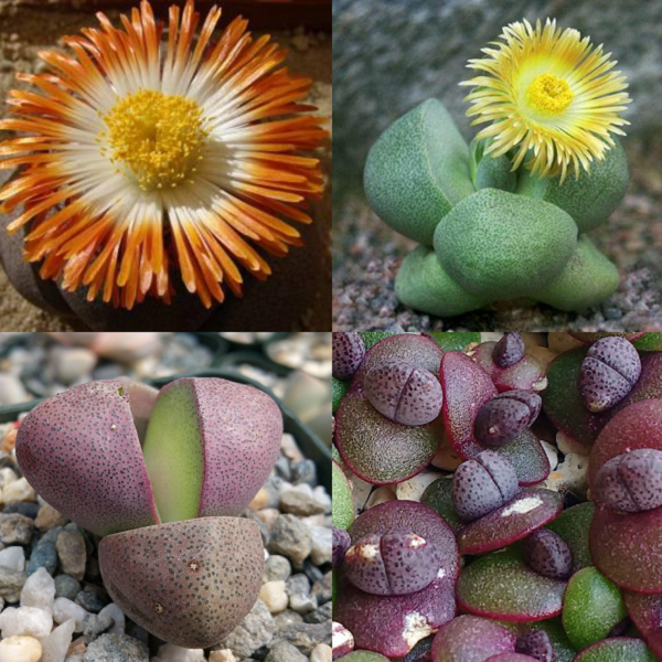 Pleiospilos Mixed Species - indigenous succulent - 10 seeds