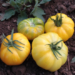 Pork Chop Tomato Heirloom Vegetable - Lycopersicon Esculentum - 10 Seeds - ORGANIC