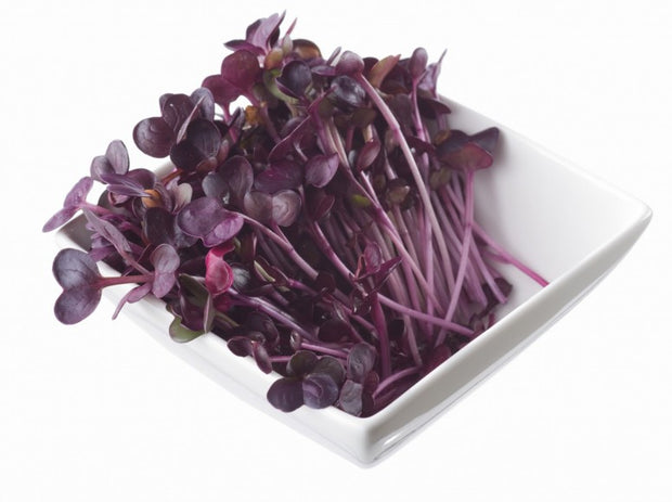 Japanese Red Daikon Sango Radish Cress - Sprouting / Microgreen Seeds