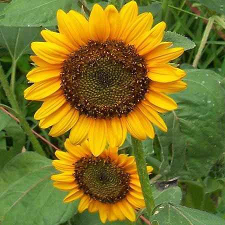 Dwarf Sunspot Dwarf Sunflower - Helianthus - Annual - 20 Seeds