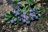 Dwarf Lowbush Blueberry - Fruit Shrub / Tree - Vaccinium angustifolium - 10 Seeds