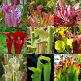 Mixed Pitcher Plants - Sarracenia Mixed Species - Carnivorous - 5 Seeds
