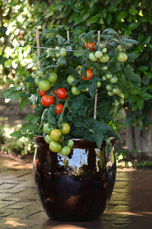 Little Sicily Cocktail Tomato - Container Hanging Basket Trailing Tomato - Lycopersicon Esculentum - 5 Seeds