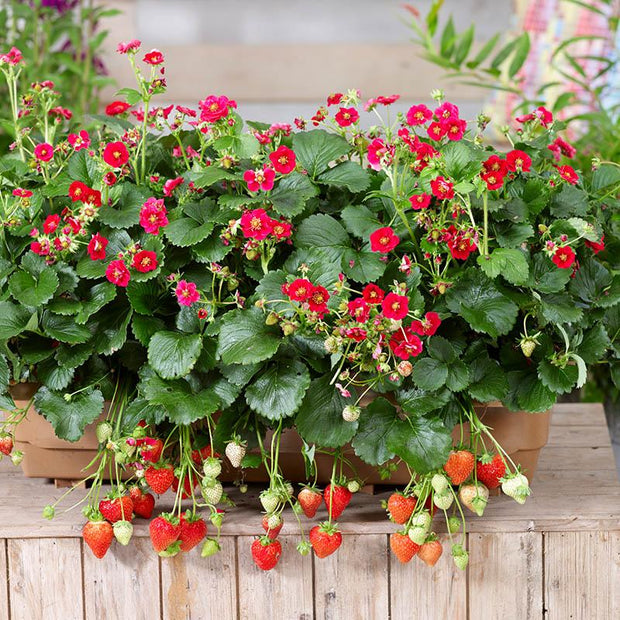 Summer Breeze Rose F1 Strawberry - Fragaria - Easy to grow Container Strawberry - Fruit - 5 Seeds