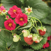 Summer Breeze Rose F1 Strawberry - Bulk Fruit / Berry Seeds - 100 Seeds