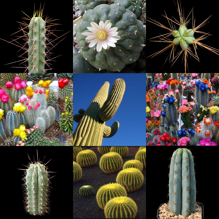 Premium Cactus Collection - The worlds Rarest & Largest Cacti - Succulents - 105 Seeds