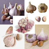 Garlic Collection - 5 Exotic Varieties - 100 Cloves / Seeds - Package Deals - Heirloom