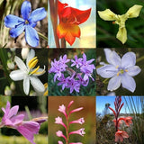 Indigenous SA Summer Bulb Seed Collection - 10 Varieties - Summer Specials