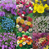 'Floral Explosion' Flower Seeds - 10 Seed Packs - Summer Specials - PK3