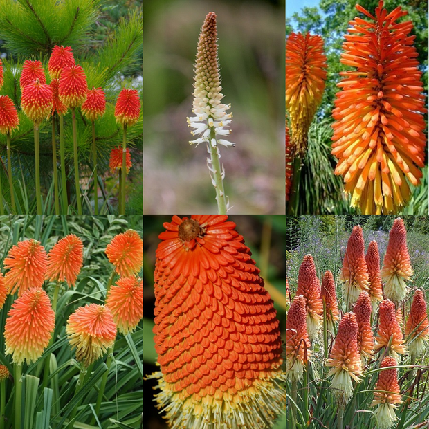 Kniphofia Mixed Species - Kniphofia ssp - Indigenous Bulb - 10 Seeds