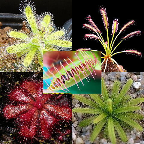 Carnivore Carnivorous Pack - 5 Species - 45 Seeds - Venus Flytrap & Sundews including all you need to grow them (Pots & growing mix/soil)