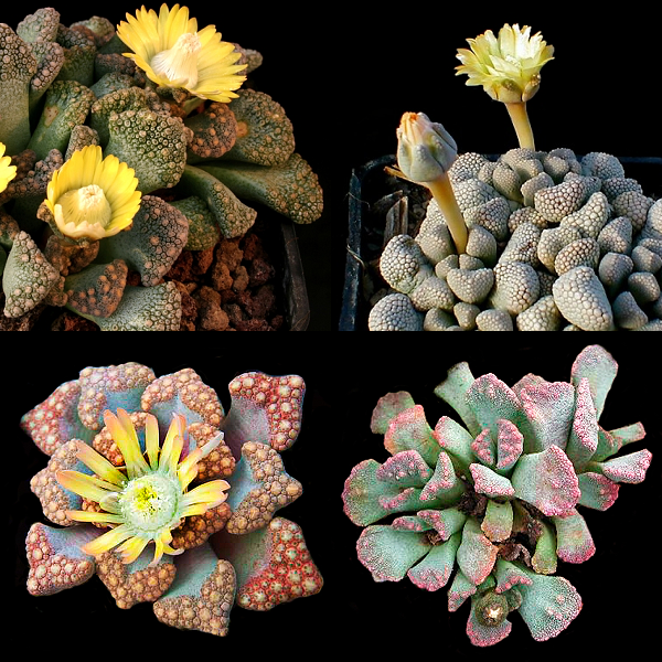 Titanopsis Species Mixed - Indigenous South African Succulent - 10 Seeds