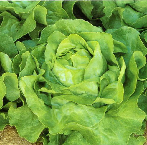 White Boston Butterhead Lettuce - Lactuca Sativa - Vegetable - 100 Seeds