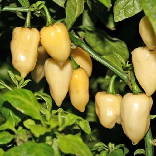 White Fatalii Pepper - Chilli Pepper - Capsicum chinense - Hot & Rare - 10 Seeds
