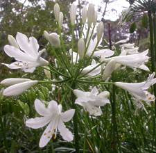 Agapanthus praecox Medium White - Indigenous South African Bulb - 10 Seeds