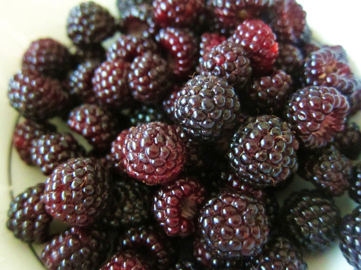 Black Raspberry - Fruit Shrub - Rubus leucodermis - 5 Seeds