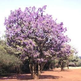 Corporate Gifting Seeds - Bolusanthus Speciosus - Tree Wisteria - Indigenous South African Tree