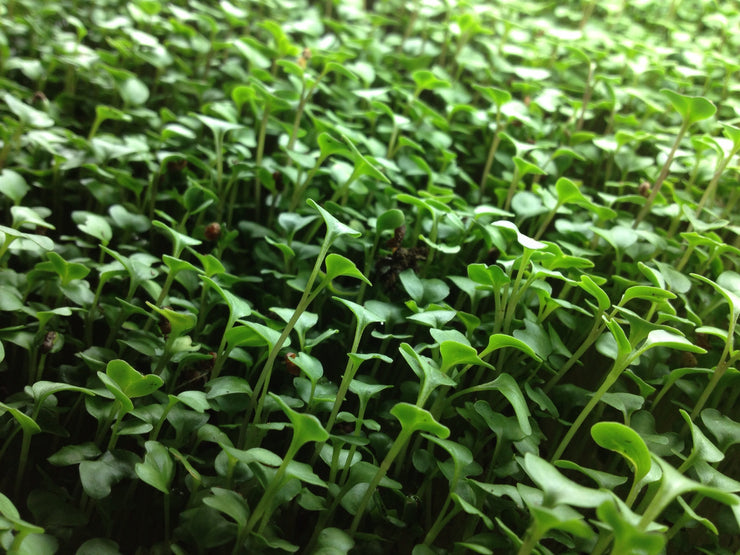 Broccoli - Sprouting / Microgreen Seeds
