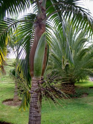 Princess Palm - Dictyosperma album - Exotic Palm - 10 Seeds