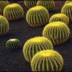 Echinocactus Grusonii - Golden Barrel Cactus / Mother in Laws Cushion - 10 Seeds