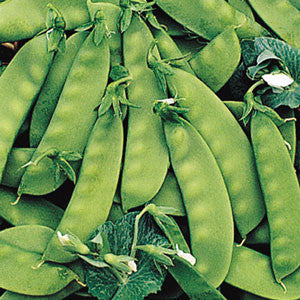 Oregon Sugarpod Sugar Snow Peas - Bulk Vegetable Seeds