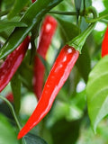 Ring of Fire Chilli Pepper - ORGANIC - Heirloom Vegetable - 10 Seeds