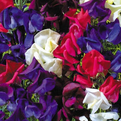 Sweet pea Starry Night Mix - Lathyrus odoratus - 20 Seeds