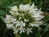 Agapanthus Praecox ssp Orientalis Tall White - Indigenous South African Bulb - 10 Seeds