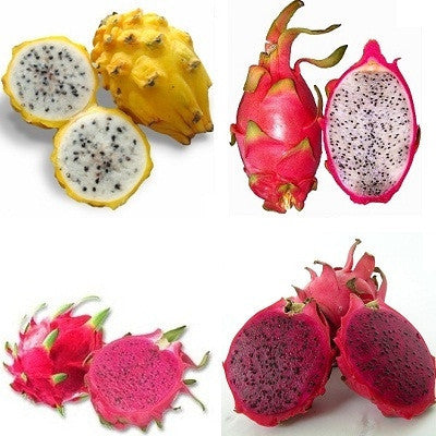 Dragon Fruit Package - Golden, Red, Purple & White Pitaya - Succulent Fruit Seeds - RARE