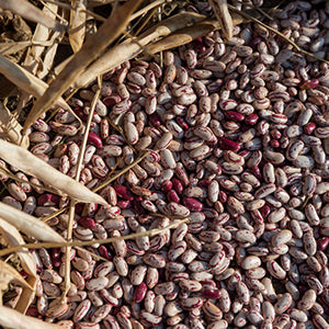Ukulinga Hybrid Dry Sugar Beans - Bulk Vegetable Seeds